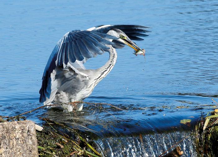 Wildvögel können den gefährlichen Erreger H5N8 auf das heimische Geflügel übertragen. Darum gilt derzeit strikte Stallpf