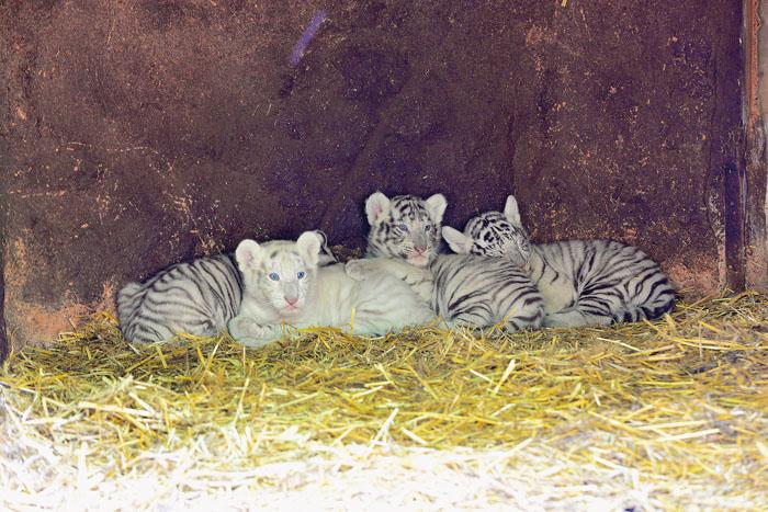 Ein großer Wurf: Vier weiße Tigerbabies wachsen derzeit im Tierpark Nadermann auf. Tigermutter Bianca hat es ganz alleine g