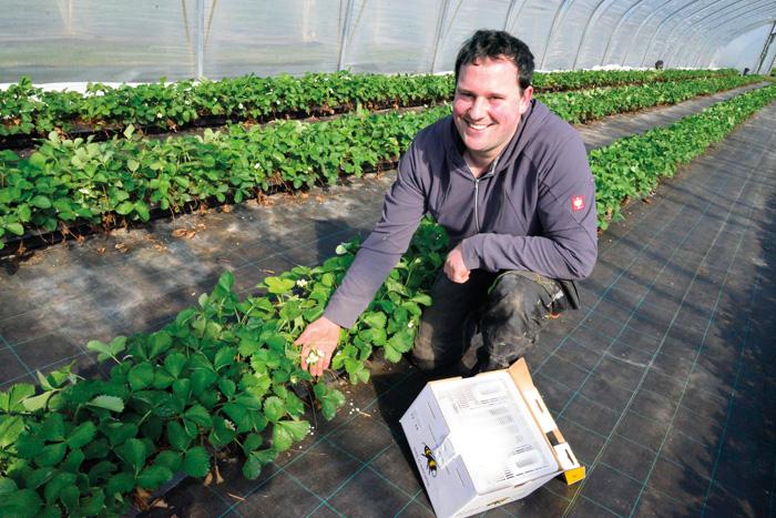 Die Erdbeerpflanzen blühen schon in den Folientunneln. Lars Milsmann hofft nun, dass er noch möglichst viele Helfer bekomme
