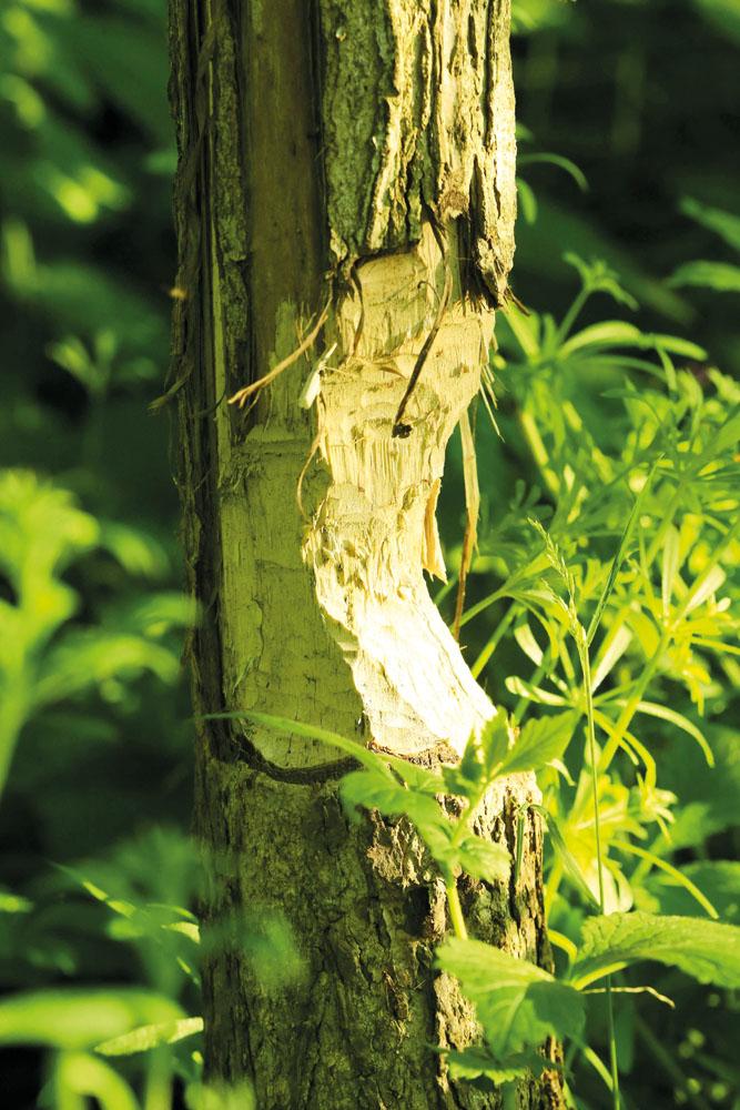 Die angenagten Bäume sind eindeutige Hinweise für die Aktivitäten des Biber. Fotos: RSA/Steg